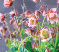 Pretty, pink and petite: Growing Pink Frills