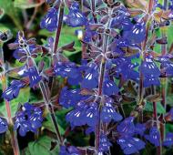 Salvia's stunning bloom