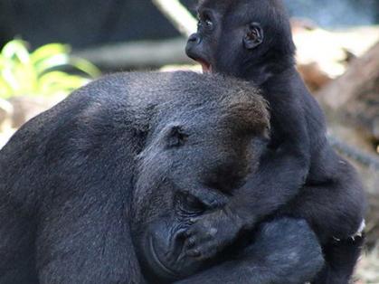 Gorilla Keeper Talk