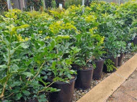 20% off Selected Hedging Plants