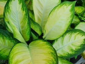 25% off Dieffenbachia Plants