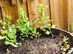 Veggie Gardening in Pots/Balconies Webinar