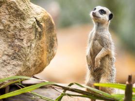 Meerkat Keeper Talk