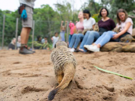Meerkat Encounter At The Zoo