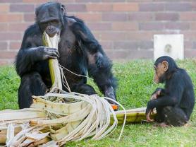 Chimpanzee Keeper Talk