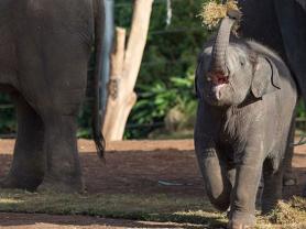 Asian Elephant Keeper Talk