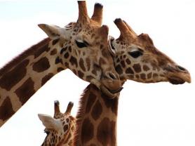 Giraffe Keeper Talk