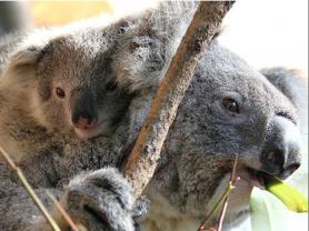 Koala Keeper Talk